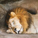 Le lion du zoo est-il plus en sécurité que dans la savanne ?